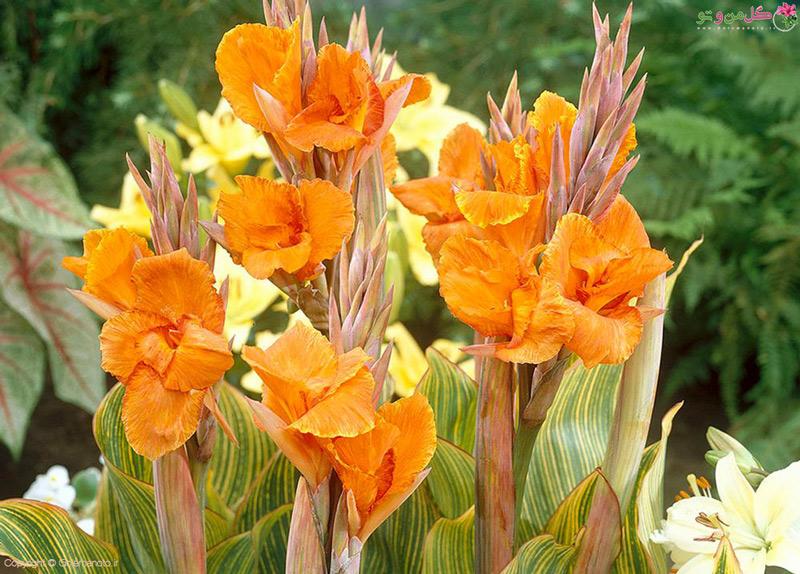 نگهداری و کاشت گل اختر
