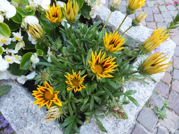 کاشت گازانیا در گلدان