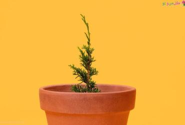روش های تکثیر درخت کاج