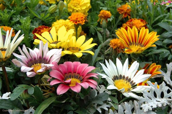 نگهداری گل گازانیا