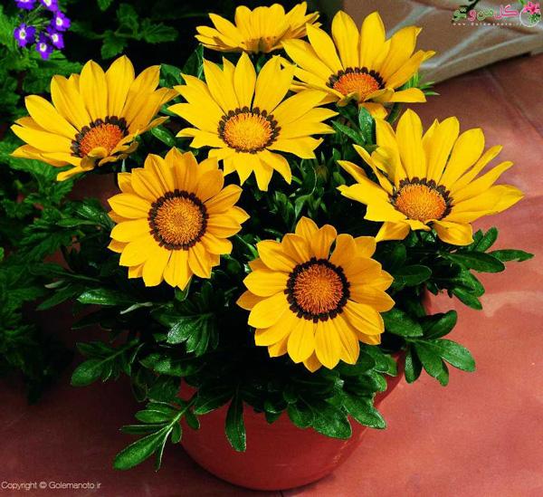 کاشت گل گازانیا در گلدان