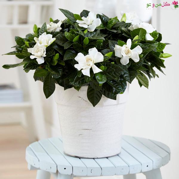 گلهای خوشبو برای حیاط و بالکن - گاردنیا