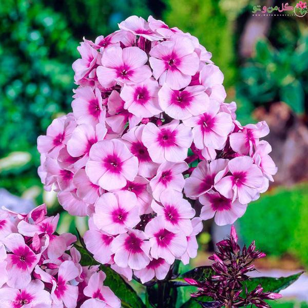 گل های خوشبو مناسب حیاط - فلوکس