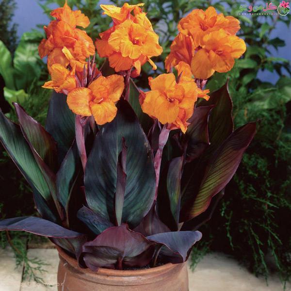 گل اختر در گلدان