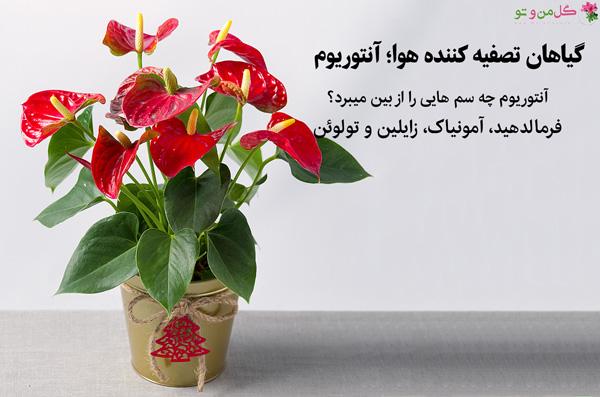 آنتوریوم  گیاه تصفیه کننده هوا