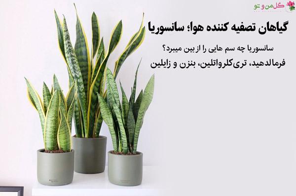 سانسوریا از گیاهان تصفیه کننده هوا برای اتاق