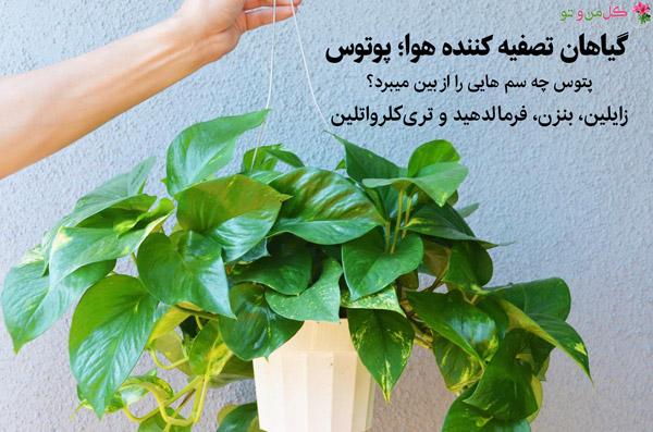 پتوس گیاه تصفیه کننده هوا