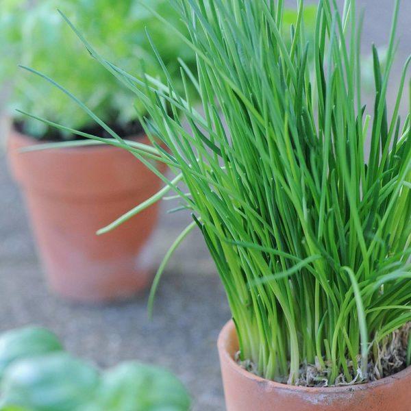 کاشت سبزی در گلدان - کاشت تره