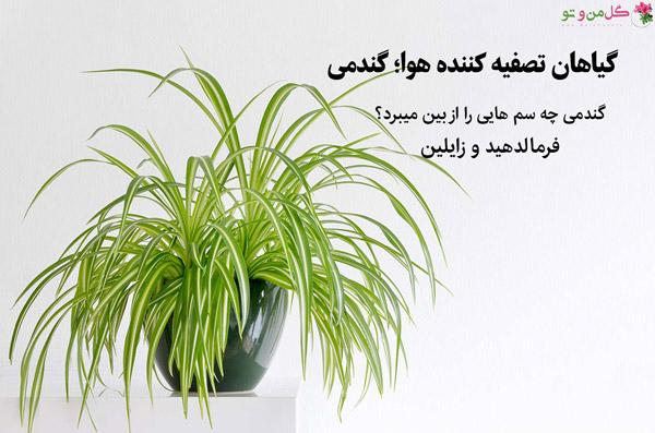 گندمی از گیاهان تصفیه کننده هوا