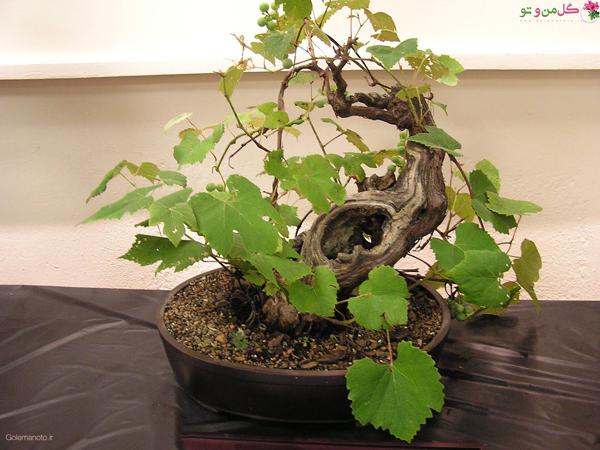 کاشت بذر بونسای انگور