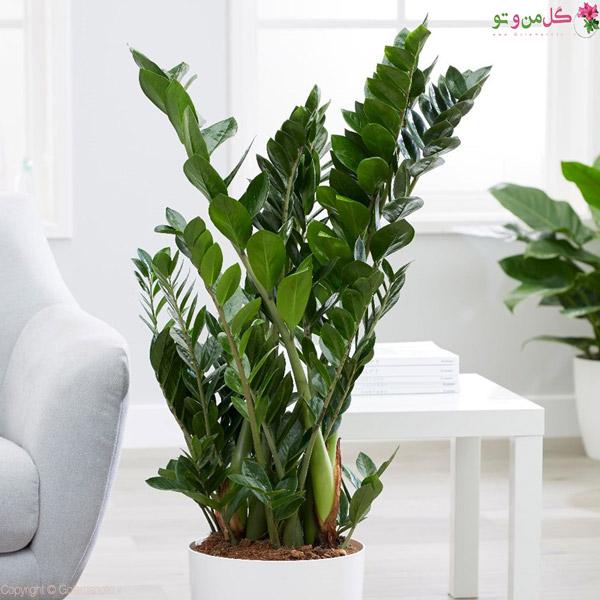 زاموفیلیا جزو گیاهان لوکس