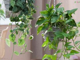 فواید گل پوتوس در خانه