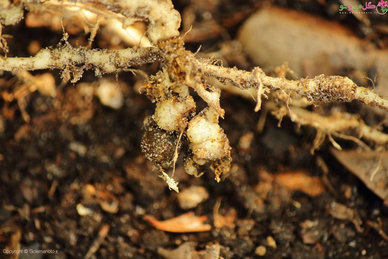 نماتد یا همان سرطان خاک