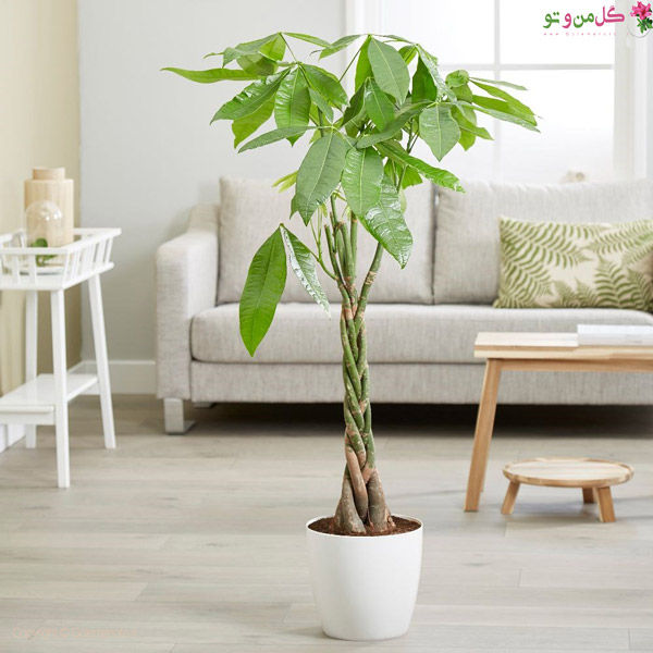 گیاهان آپارتمانی لاکچری - پاچیرا