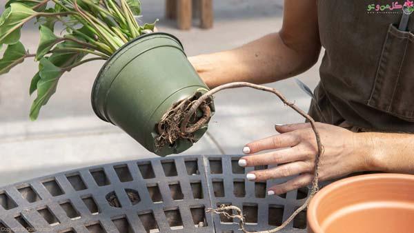 خارج شدن ریشه از زیر گلدان