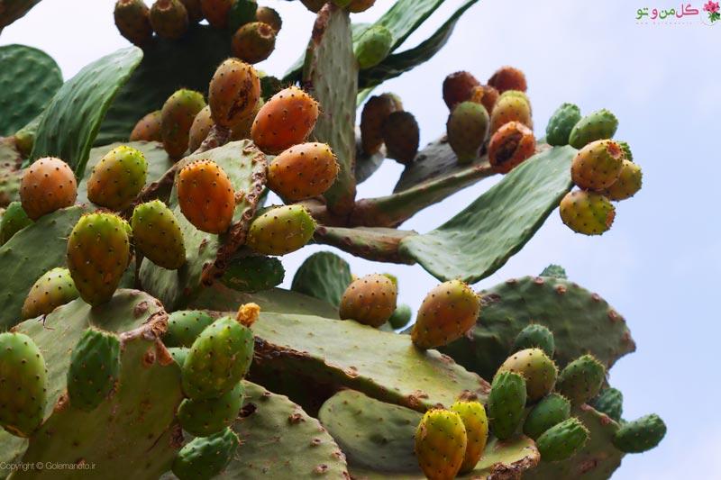 میوه کاکتوس چیست و چه خواصی دارد؟