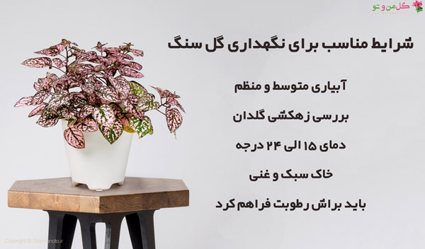 شرایط نگهداری گل سنگ در خانه