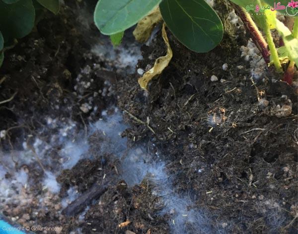 انواع کپک خاک