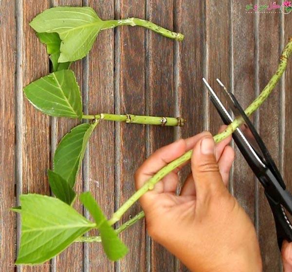 برش قلمه و جدا کردن برگهای اضافی