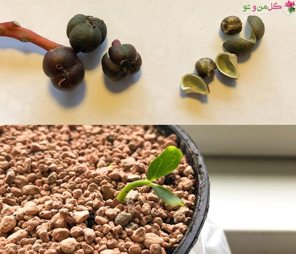 تکثیر کروتون به روش کاشت بذر