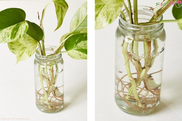 ریشه زایی گیاهان در آب - ریشه دهی پتوس در آب
