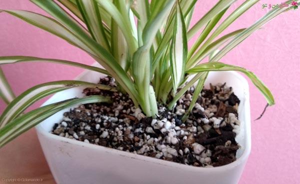 تکثیر گل گندمی در خاک