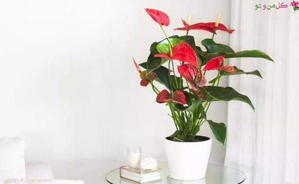 نگهداری گل آنتوریم