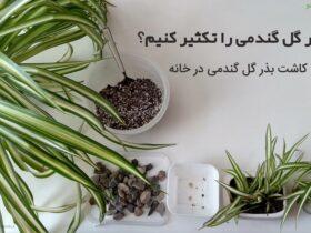 نحوه تکثیر گل گندمی در خانه
