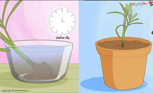 مراحل تکثیر اریکا و کاشت پاجوش