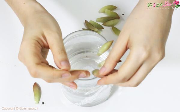 تکثیر ساکولنت در آب و آماده کردن ظرف