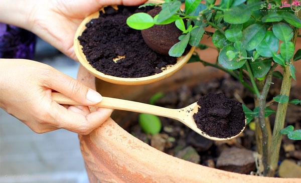 تفاله قهوه کود خانگی برای گلدان