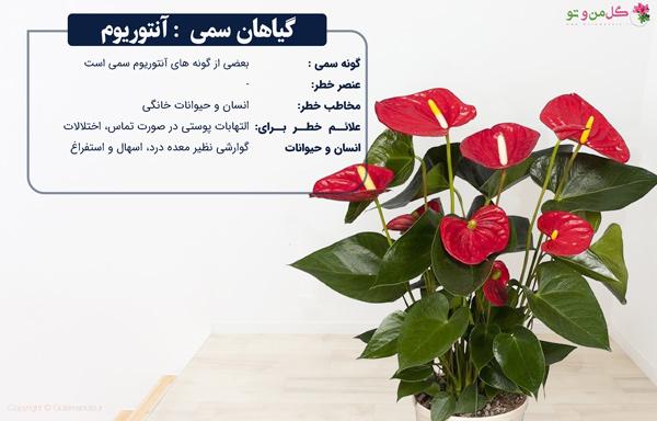 گیاهان آپارتمانی سمی - آنتوریوم