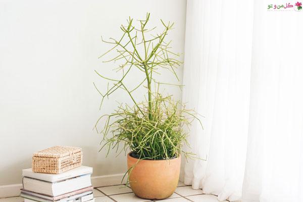 افوربیا تیروکالی از گیاهان آپارتمانی آویز
