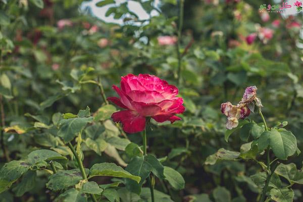 انواع گل رز، رز آلبا
