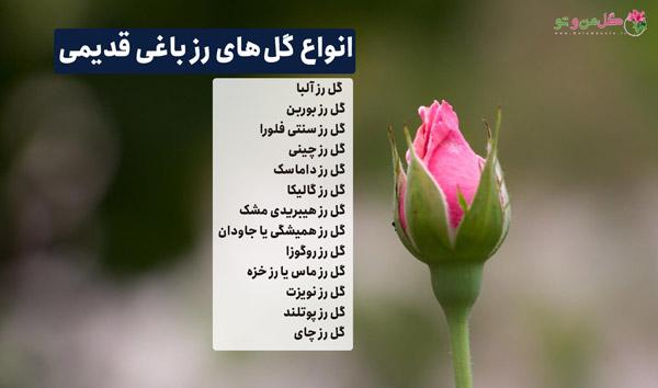 انواع گل های رز باغی قدیمی