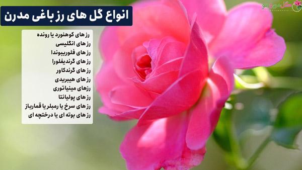 انواع گل های رز باغی مدرن