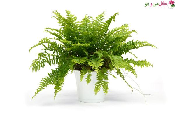 انواع گیاه سرخس - سرخس بوستون