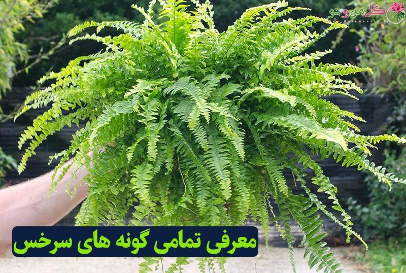 انواع گیاه سرخس