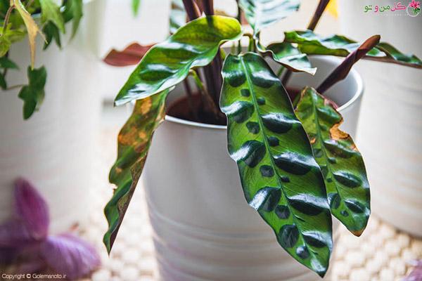 ایجاد لکه روی برگها از مشکلات رایج گل و گیاه آپارتمانی