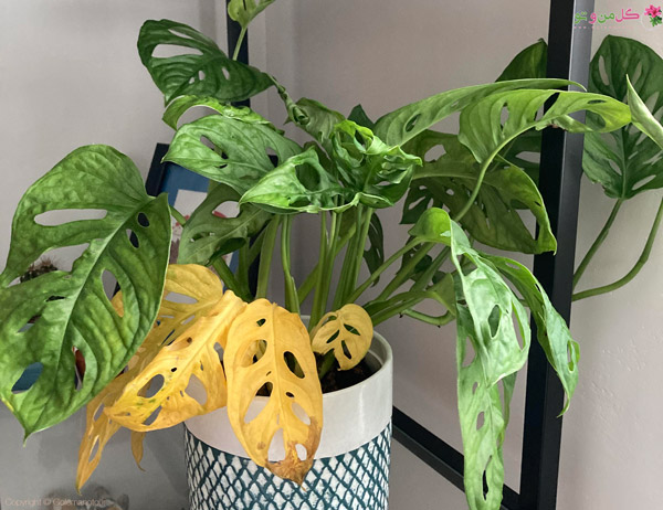زرد شدن برگها از مشکلات گیاهان آپارتمانی