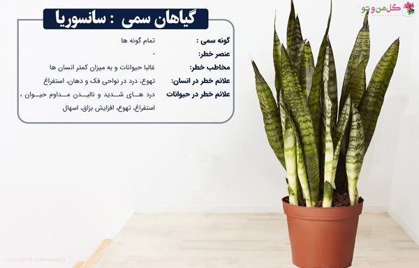 سانسوریا از گیاهان آپارتمانی سمی و مقاوم
