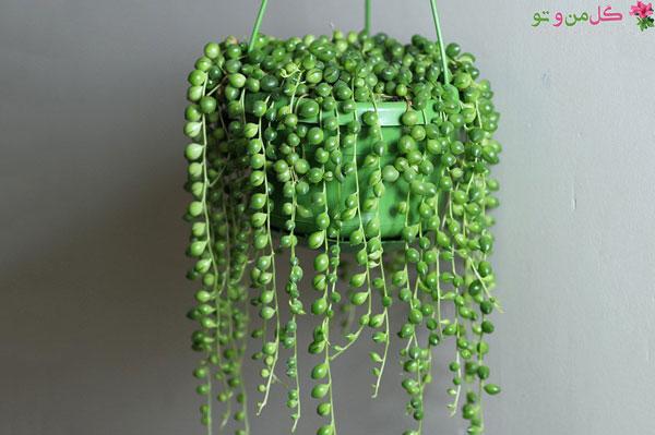 ساکولنت غوره ای گیاه آویز