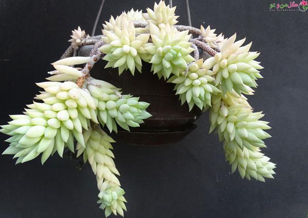 سدوم مورگانیانوم از گیاهان آویز جذاب