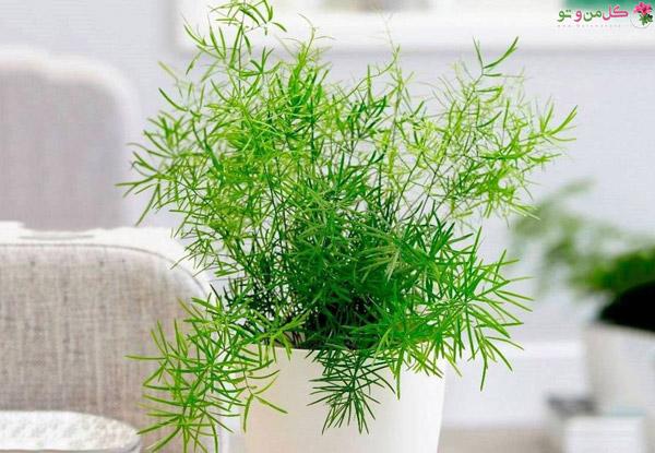 انواع گیاه سرخس - سرخس مارچوبه