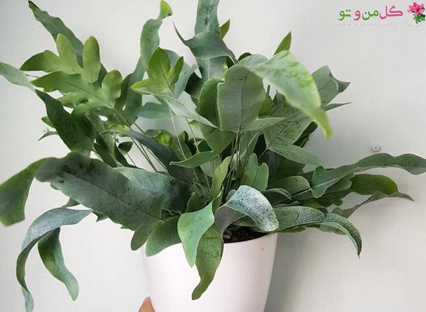 سرخس پنجه خرسی انواع گیاه سرخس