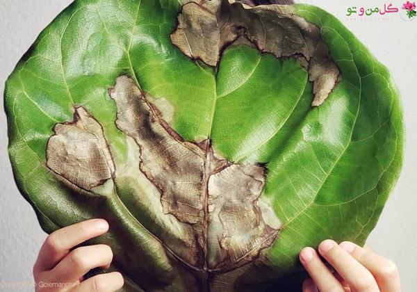 سوختن برگ گیاهان آپارتمانی