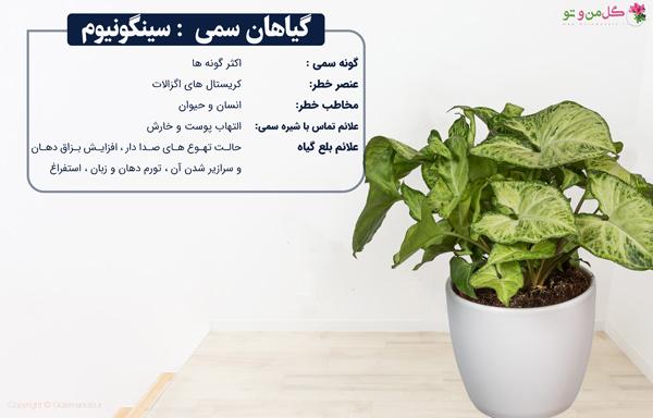 سینگونیوم از گیاهان سمی خانگی