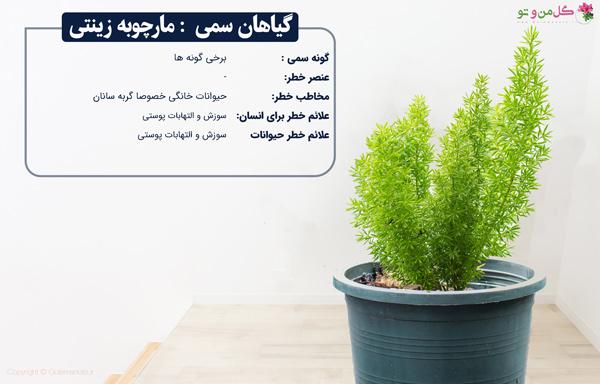 مارچوبه زینتی از گیاهان خانگی سمی