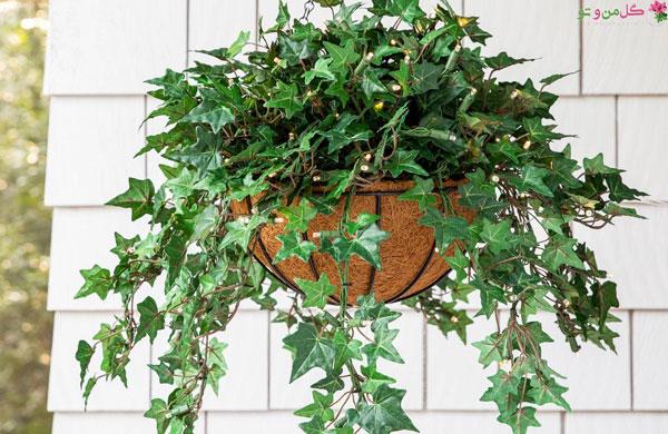 پاپیتال یا گیاه عشقه