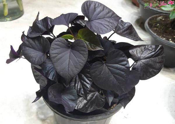 پتوس سیاه یا ایپومیا بلک